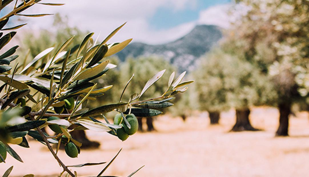 Original Source – The Powerful Properties Of Our Olive Oil