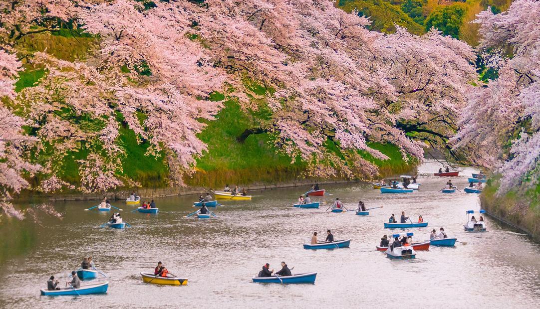 The Symbolic Beauty of the Sakura