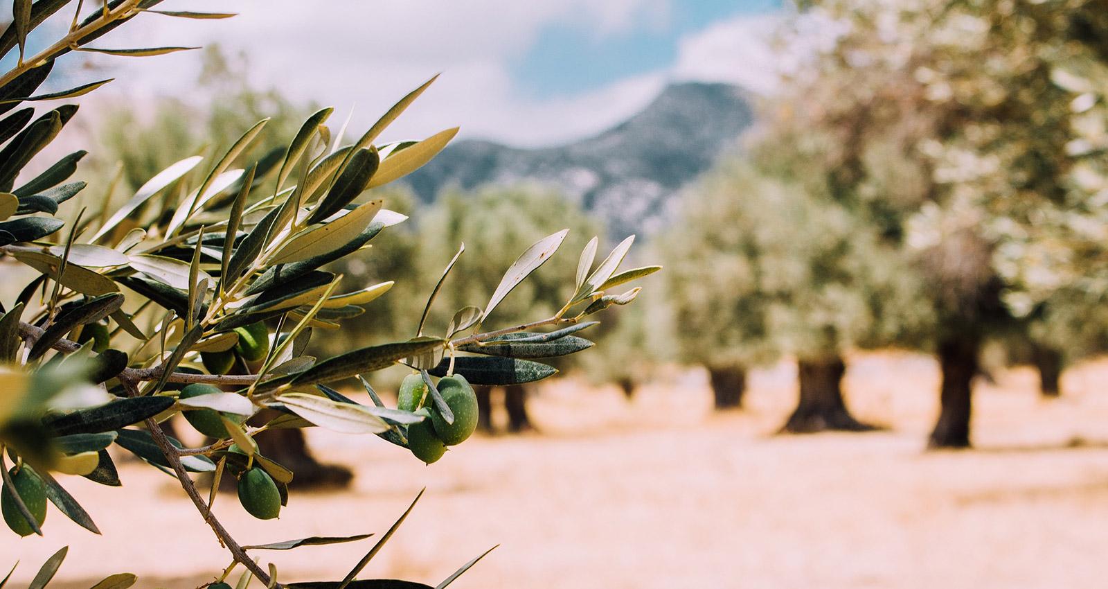 organic olive farm