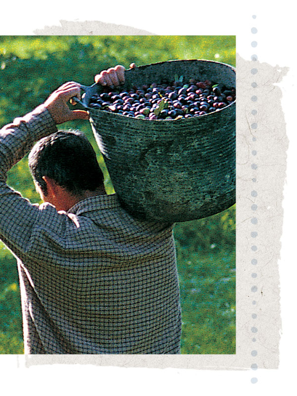 organic olives in basket