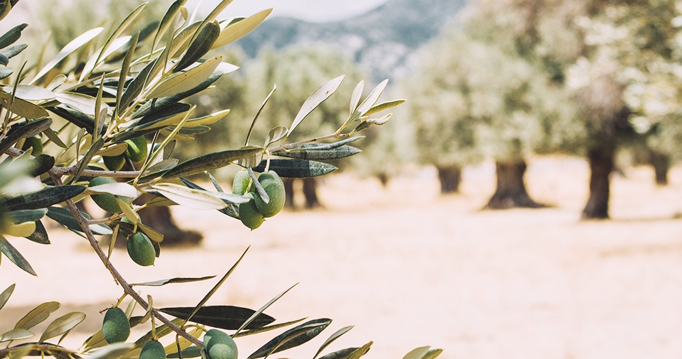 Olive Farm which sources DHC's Olive Oil Skincare Products