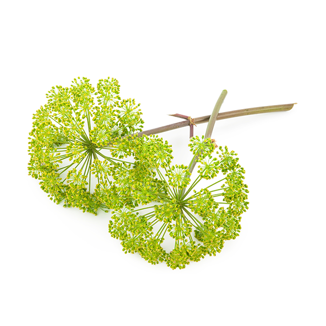 Japanese Angelica Root Extract