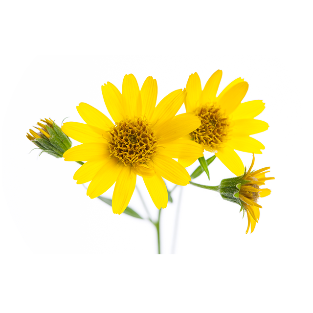 Arnica Flower Extract