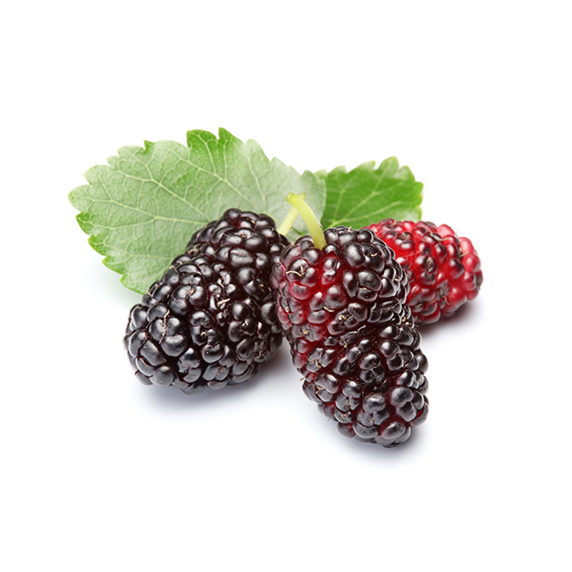 Mulberry Root Extract